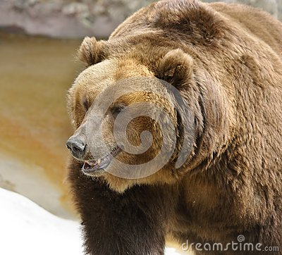 Great brown bear