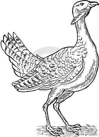 Great bustard bird drawing