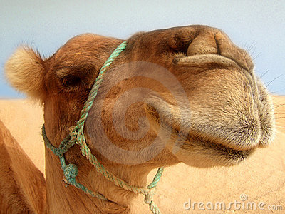 Great camel headshot