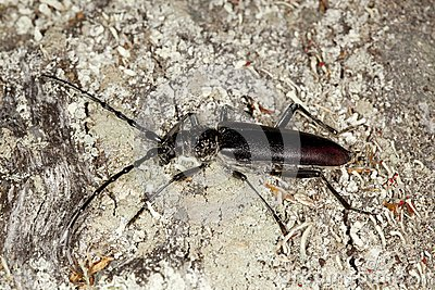 Great capricorn beetle (Cerambyx cerdo)
