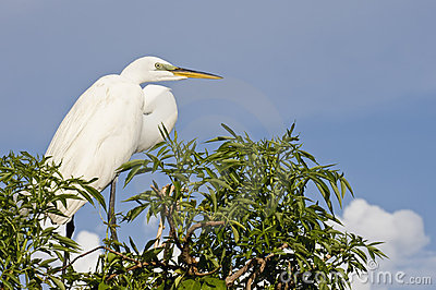 Great Cattle Egret