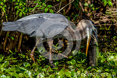 A Great Closeup Shot of a Wild Great Blue Heron (Ardea herodias) Eating a Large Bowfin Fish.