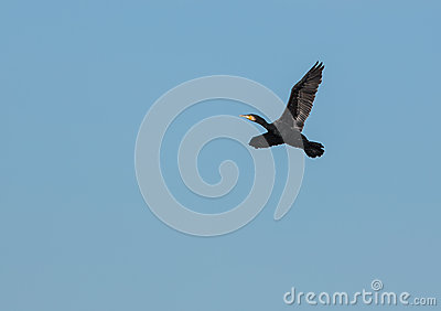 Great Cormorant in flight