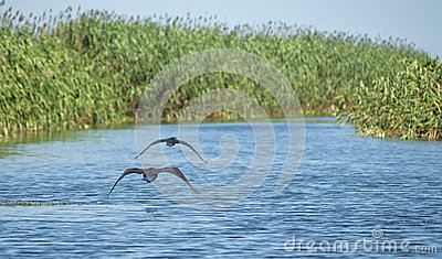 Great Cormorants in flight