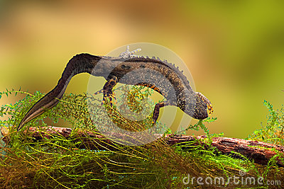 Great crested newt or water dragon