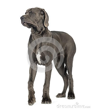 Free Great Dane, 10 Months Old, Disgusted, Eyes Closed In Front Of Wh Stock Images - 103837454