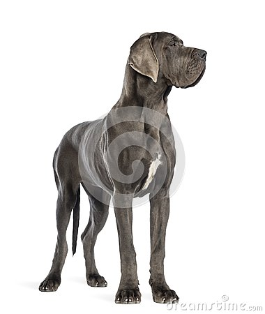 Free Great Dane, 10 Months Old, Looking Right In Front Of White Backg Stock Photos - 103837453