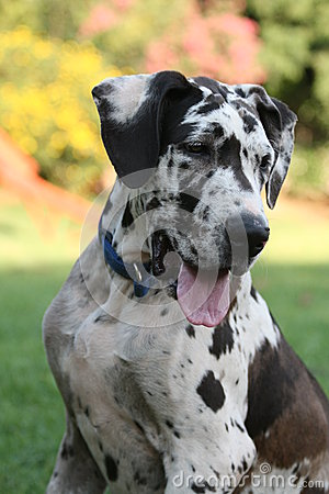 Free Great Dane Royalty Free Stock Photography - 38733997