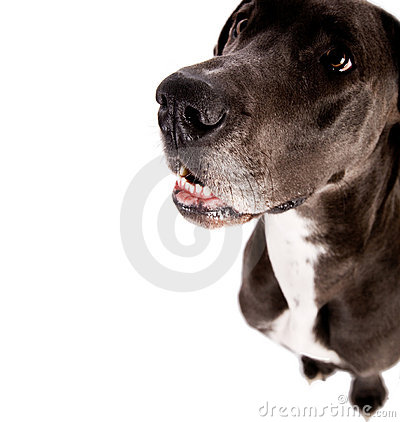Free Great Dane Royalty Free Stock Photography - 6655497