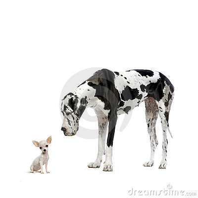Free Great Dane And Chihuahua Stock Images - 2329174