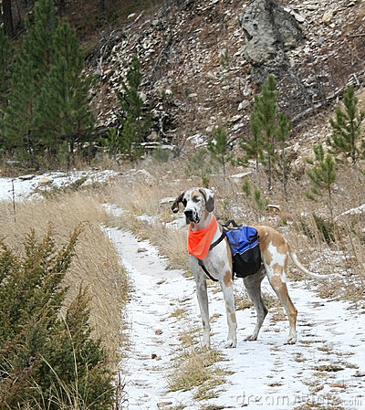 Great Dane with Backpack During Hunting Season