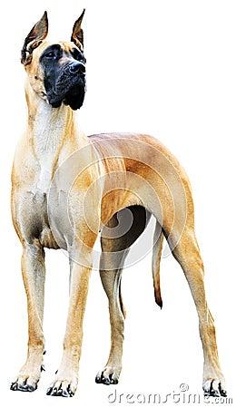 Free Great Dane Dog Royalty Free Stock Photos - 16334258