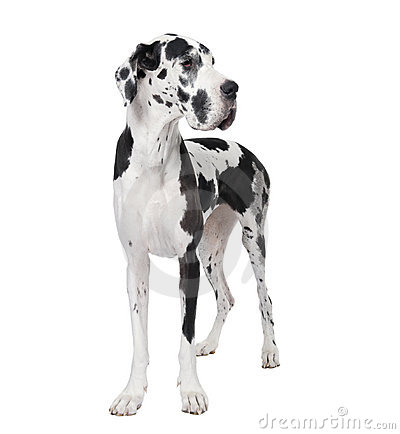 Great Dane In Front Of A White Background Royalty Free