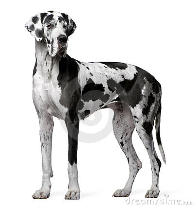 Great Dane Harlequin, 4 years old, standing