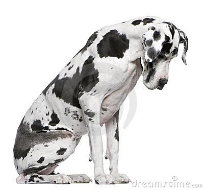 Great Dane Harlequin sitting