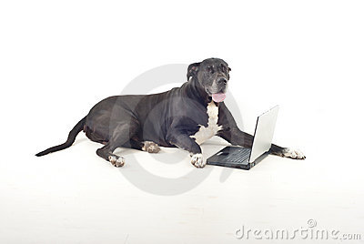 Great dane  with laptop