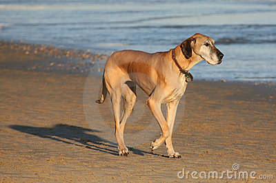 Great Dane Pedigree Dog