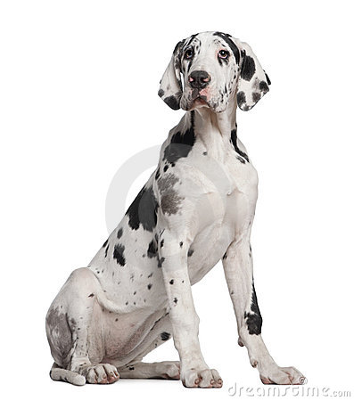 Great Dane Puppy, 6 Months Old Stock Photo