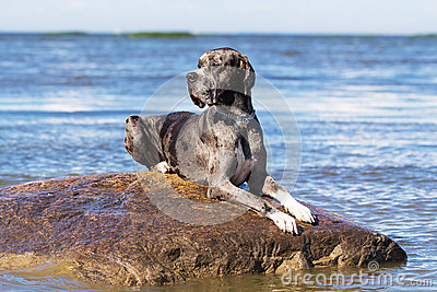 great dane on rock