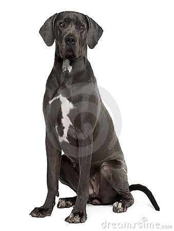 Great Dane Sitting And Looking The Camera Stock Photos