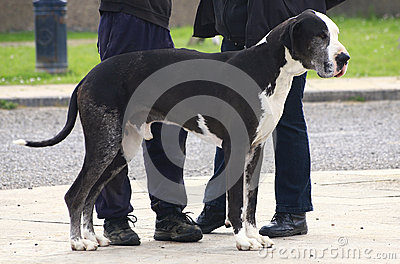 Great Dane standing at owner s feet