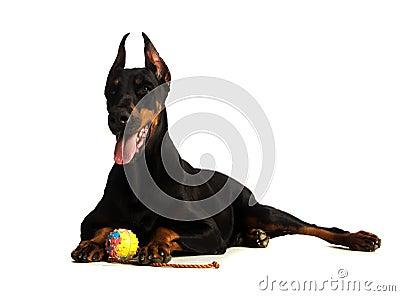 Great doberman dog with ball