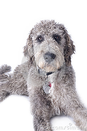 ... shot of a mixed breed, Great Dane Poodle cross on a white background