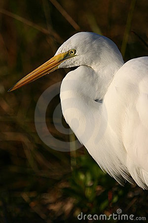 Free Great Egret Stock Photos - 1258743
