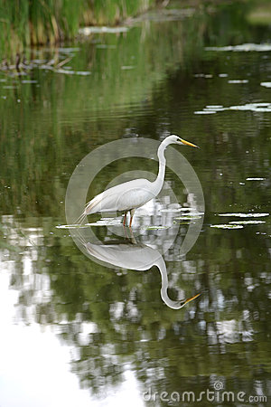 Free Great Egret Royalty Free Stock Photography - 25596857