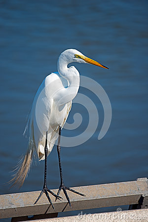 Free Great Egret Stock Images - 25619804