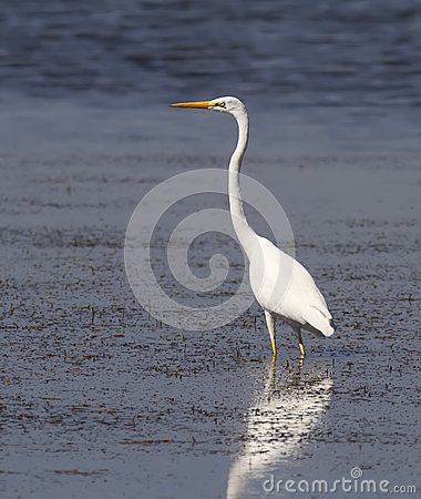 Free Great Egret Royalty Free Stock Photography - 27036927