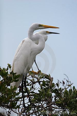 Free Great Egret Royalty Free Stock Image - 691276