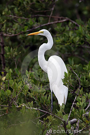 Free Great Egret Royalty Free Stock Photography - 691277