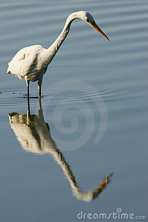 Free Great Egret Royalty Free Stock Photo - 7321835