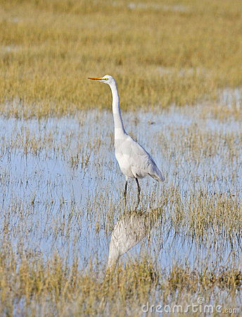Great Egret, Ardea Alba, Arcata, California Royalty Free Stock Photography - Image: 23732377