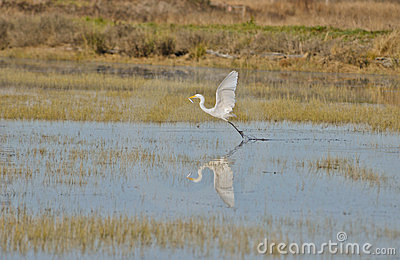 Great Egret, Ardea alba Catches a Fish