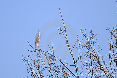 Great Egret (Ardea alba) standing on a branch