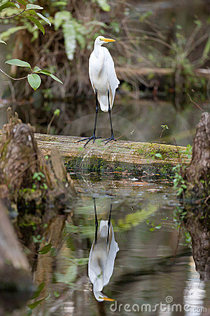Free Great Egret Bird In The Everglades Royalty Free Stock Image - 17614636