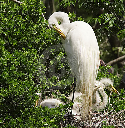 Free Great Egret (Casmerodius Albus) Nest Stock Photo - 221740