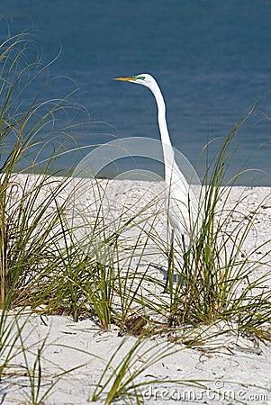 Great Egret (Casmerodius albus) stalking