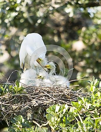 Free Great Egret Family Royalty Free Stock Photo - 4999255