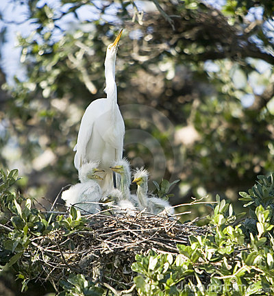 Free Great Egret Family Royalty Free Stock Image - 4999256
