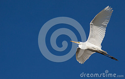 Great Egret in Flight Against Blue Sky