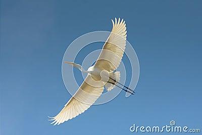Great Egret in flight / Ardea alba