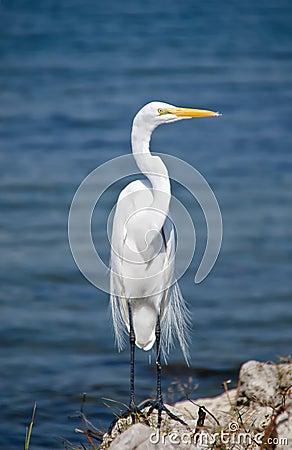 Free Great Egret, Florida Stock Photos - 48907093