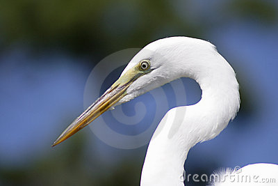 Great Egret Florida