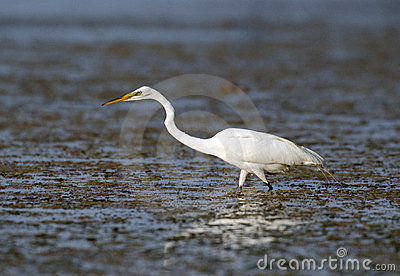 Great egret in Florida marsh