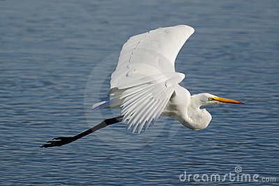 Great egret flying over clear blue water