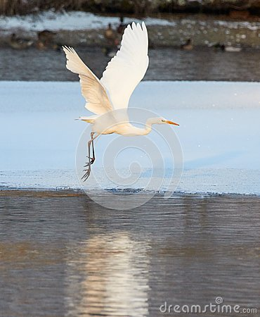 Free Great Egret Flying Over Frozen River In Sunlight In The Winter Stock Photography - 89020802