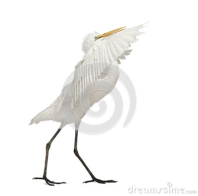 Great Egret or Great White Egret
